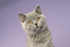 brytyjskiego kota grey z włosami skrót Obraz Stock