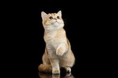 Brytyjskiego kota Złocisty Szynszylowy obsiadanie, Podnosi up łapę Odizolowywał czerń obraz stock