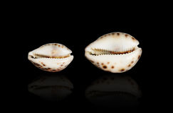 Seashell of Cypraea tigris. Royalty Free Stock Images