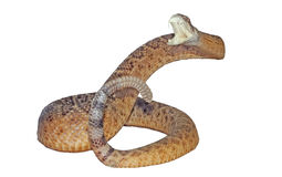 Brzęku wąż Zdjęcie Stock