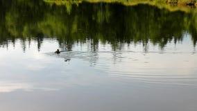 Brzask jesieni jezioro z małym kaczki lustra poziomem wody w tajemniczym lesie, młody drzewo na wyspie w środku zdjęcie wideo
