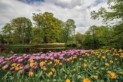 Brzeg jeziora ogród z żółtymi i purpurowymi tulipanami zdjęcie stock