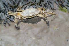 Brzeg krab w defence Zdjęcie Royalty Free