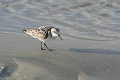 Brzeg ptak na ocean plaży Fotografia Stock