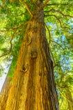 Brzegowego Redwood Wysokiego drzewa Prawdziwa sekwoja Sempervirens Fotografia Stock