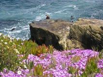 brzegowy lwów oceanu Pacific morze Obraz Royalty Free