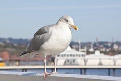 brzegowy odpoczynkowy seagull Obraz Royalty Free