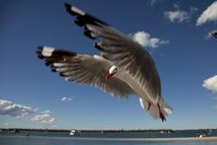 brzegowy złocisty seagull Fotografia Royalty Free
