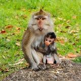 brzegowych Hainan wyspy makaka małpy małp nanwan natura ochraniał rezerwowego południowego stan Obrazy Royalty Free