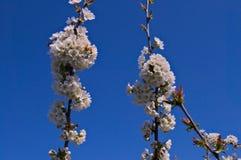 Brzoskwini drzew kwiaty kwitnie w sadzie Zdjęcie Stock