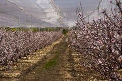 Brzoskwini drzew kwitnąć Obraz Stock