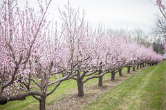 Brzoskwini drzewa Zdjęcia Stock