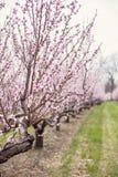 Brzoskwini drzewa Obraz Royalty Free