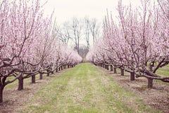 Brzoskwini drzewa Obrazy Royalty Free