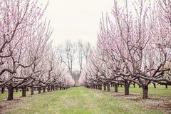 Brzoskwini drzewa Zdjęcia Royalty Free