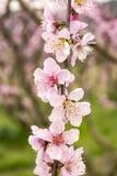 Brzoskwini drzewa okwitnięcie, kwiat, wiosna sezon obrazy royalty free