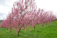 brzoskwini drzewo Zdjęcie Royalty Free