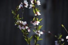 Brzoskwini drzewo kwitnie podczas zeszłych tygodni zima obraz stock