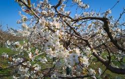 Brzoskwini drzewo kwitnie przy wiosną Zdjęcie Stock