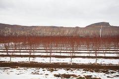 Brzoskwini drzewo podczas zimy Zdjęcie Stock