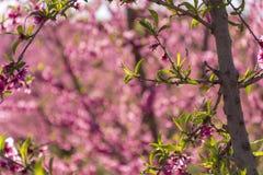 Brzoskwini drzewo w kwiacie, z różowymi kwiatami przy wschód słońca Aitona Alcarras Torres De Segre lleida Hiszpania Rolnictwo kw fotografia royalty free