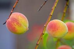 Brzoskwini drzewo w ogrodowym zakończeniu w górę 2 zdjęcie stock