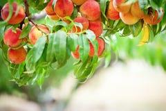 Brzoskwini drzewo z owoc dorośnięciem w ogródzie brzoskwinia sad zdjęcia royalty free