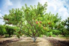 Brzoskwini drzewo z owoc dorośnięciem w ogródzie brzoskwinia sad obraz royalty free