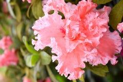 Brzoskwini menchii kwiat z abstrakta wzorem i kształtem różanecznik - azalia Indica Simsii - Obraz Stock