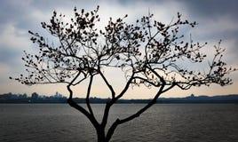 Brzoskwini okwitnięcia drzewo z brzoskwini okwitnięciami na zachodnim jeziorze Hangzhou jest sylwetkowy w wieczór fotografia stock