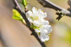 Brzoskwini okwitnięcia kwiat, śliwkowy kwiat Zdjęcie Royalty Free