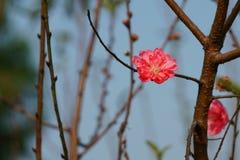 Brzoskwini okwitnięcia kwiatu kwitnienie w niebie zdjęcie royalty free