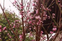 Brzoskwini okwitnięcie Brzoskwini drzewo z pięknymi różowymi brzoskwinia kwiatami obrazy royalty free