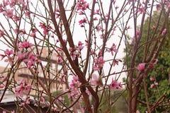 Brzoskwini okwitnięcie Brzoskwini drzewo z pięknymi różowymi brzoskwinia kwiatami fotografia stock