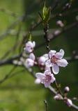 Brzoskwini okwitnięcie Gałąź z brzoskwinią pączkuje i kwitnie na zieleni Fotografia Stock