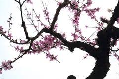 Brzoskwini okwitnięcie w pełnym kwiacie na brzoskwini drzewie Obraz Stock