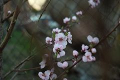 Brzoskwini okwitnięcie Fotografia Stock