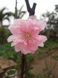 Brzoskwini okwitnięcie Zdjęcie Royalty Free