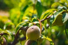 Brzoskwini owoc Organicznie naturalna owoc od natury Zdjęcia Stock
