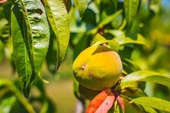 Brzoskwini owoc Organicznie naturalna owoc od natury Obraz Stock