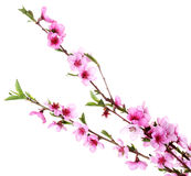 Brzoskwini piękny różowy okwitnięcie Zdjęcie Stock
