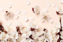 Brzoskwini piękny różowy okwitnięcie kwiatonośny brzoskwini drzewo na różowym tle obraz royalty free