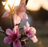 Brzoskwini Prunus Persica kwitnie przy świtem Obrazy Stock
