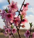 Brzoskwini Prunus Persica kwitnie przy zmierzchem Obraz Stock