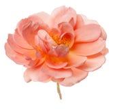 Brzoskwini róża Odizolowywająca Zdjęcie Stock