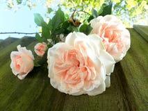 Brzoskwini róże obrazy stock