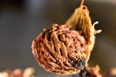 Brzoskwini ziarno fotografujący w makro- obraz stock