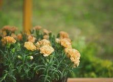 Brzoskwinia barwił goździki w ogrodowych garnkach, kwiatu tło Zdjęcia Stock