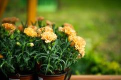 Brzoskwinia barwił goździki w ogrodowych garnkach, kwiatu tło Zdjęcie Royalty Free