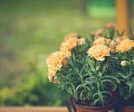 Brzoskwinia barwił goździki w ogrodowych garnkach, kwiatu tło Zdjęcie Stock